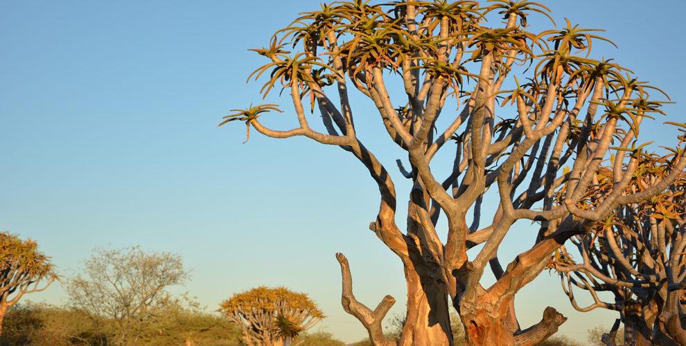 Quivertree Namibia (Foto: Sabina Schneider)