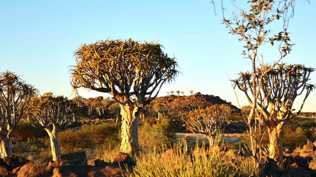 Quivertreeforest in Namibia (Foto: Sabina Schneider)