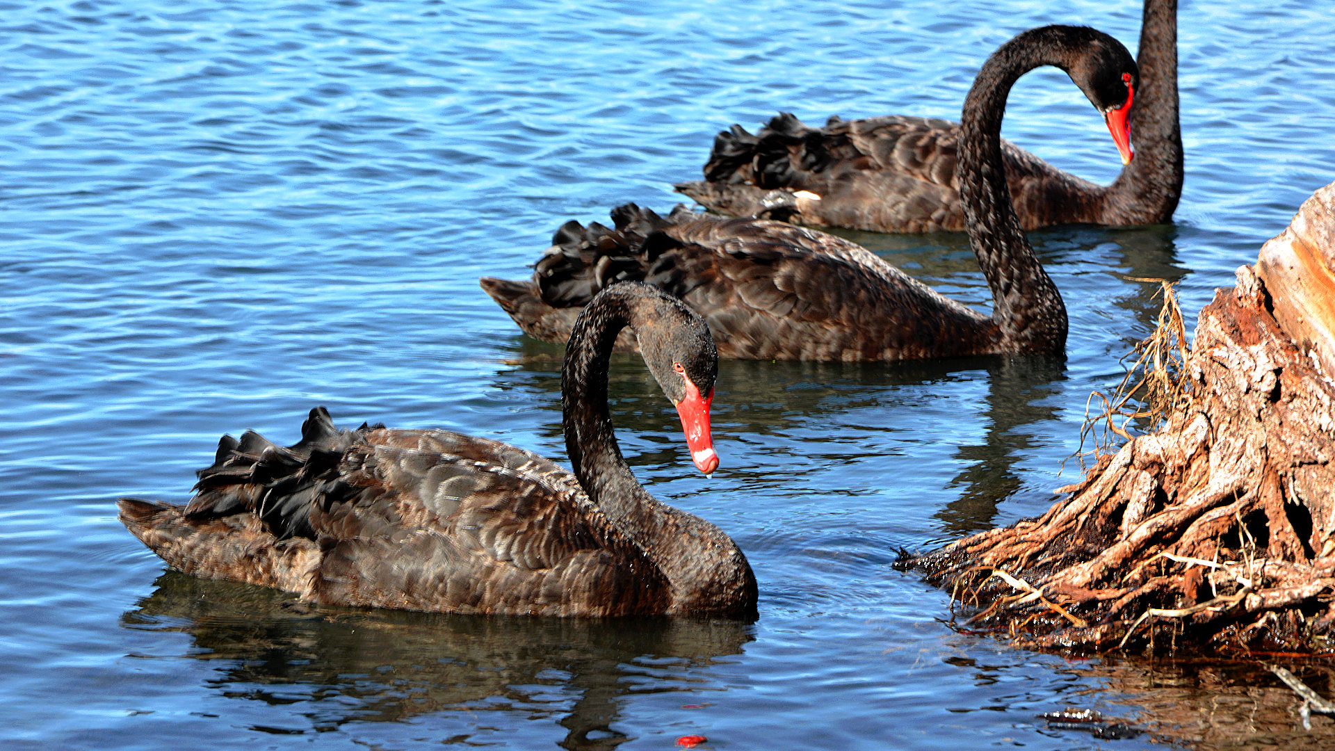 Black Swan in Perth (Foto: Sabina Schneider)