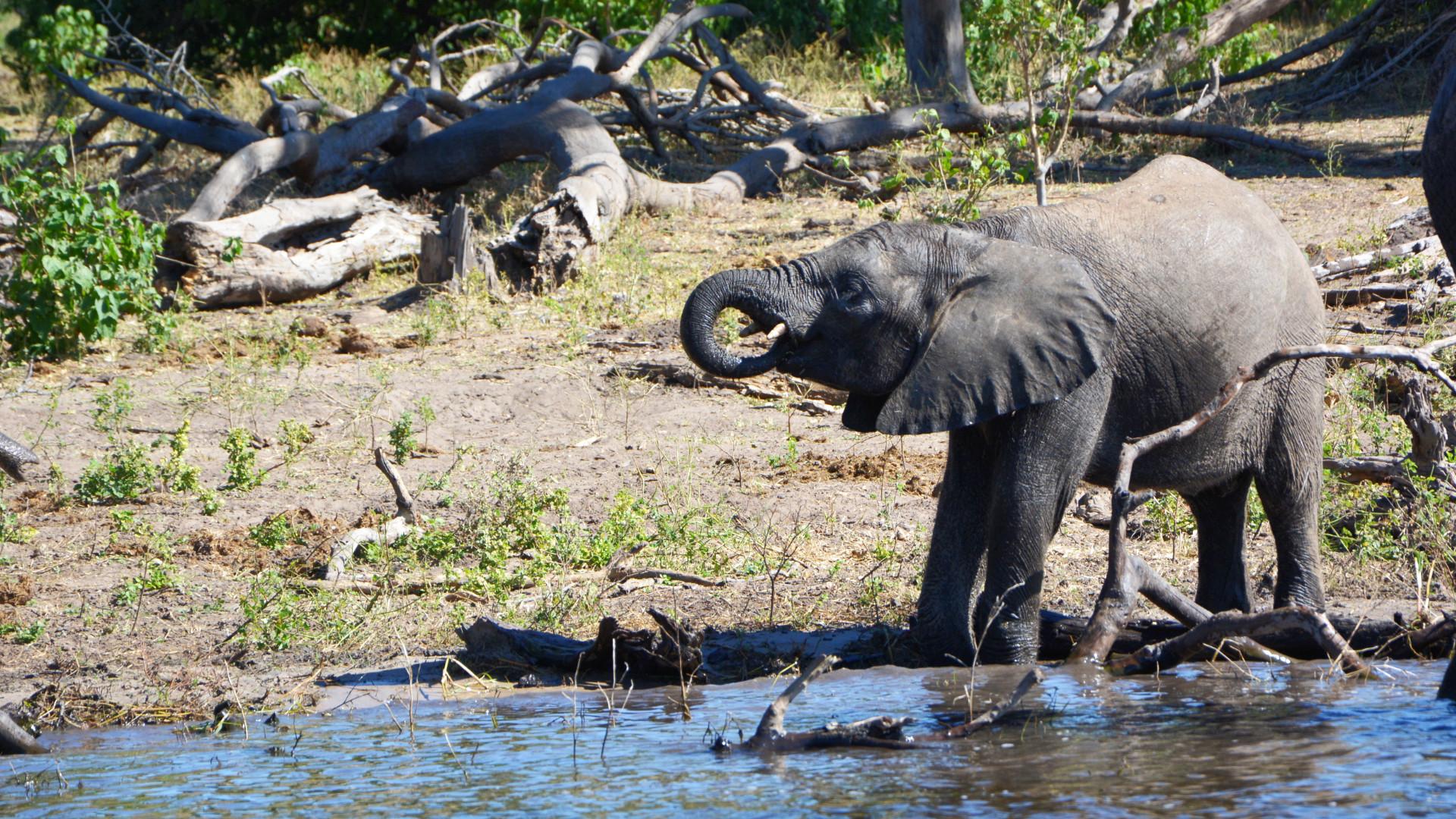 Elefant im Chobe Nationalpark (Foto: Sabina Schneider)
