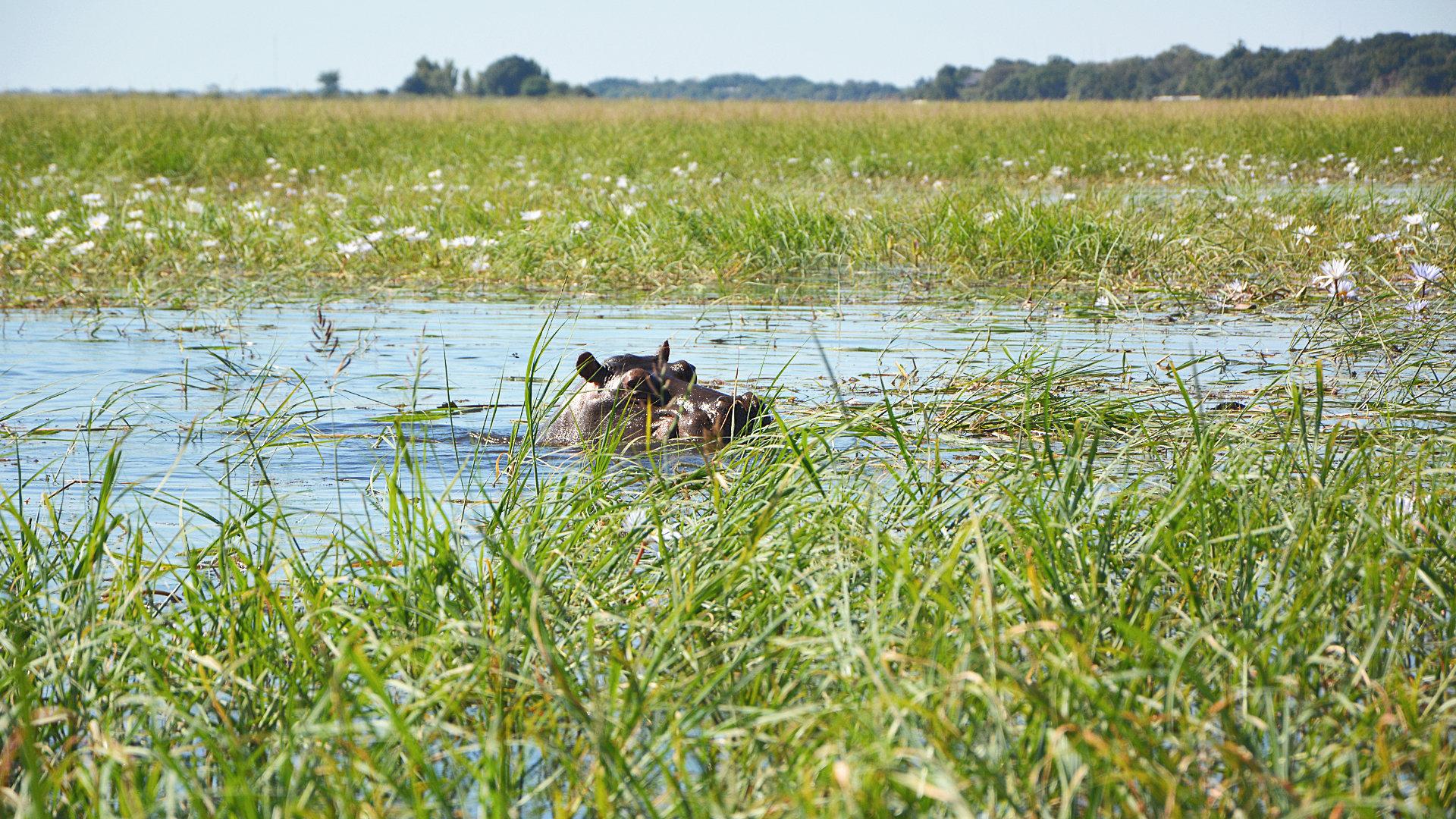 Nilfpferd im Chobe Nationalpark (Foto: Sabina Schneider)