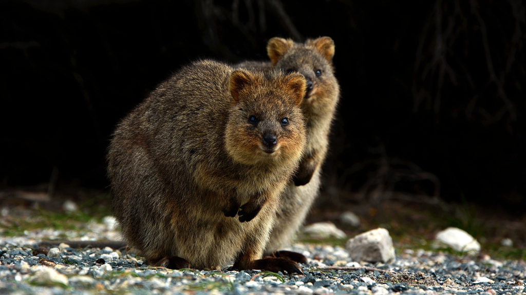 Quokkas auf Rottnest Island (Foto: Sabina Schneider)