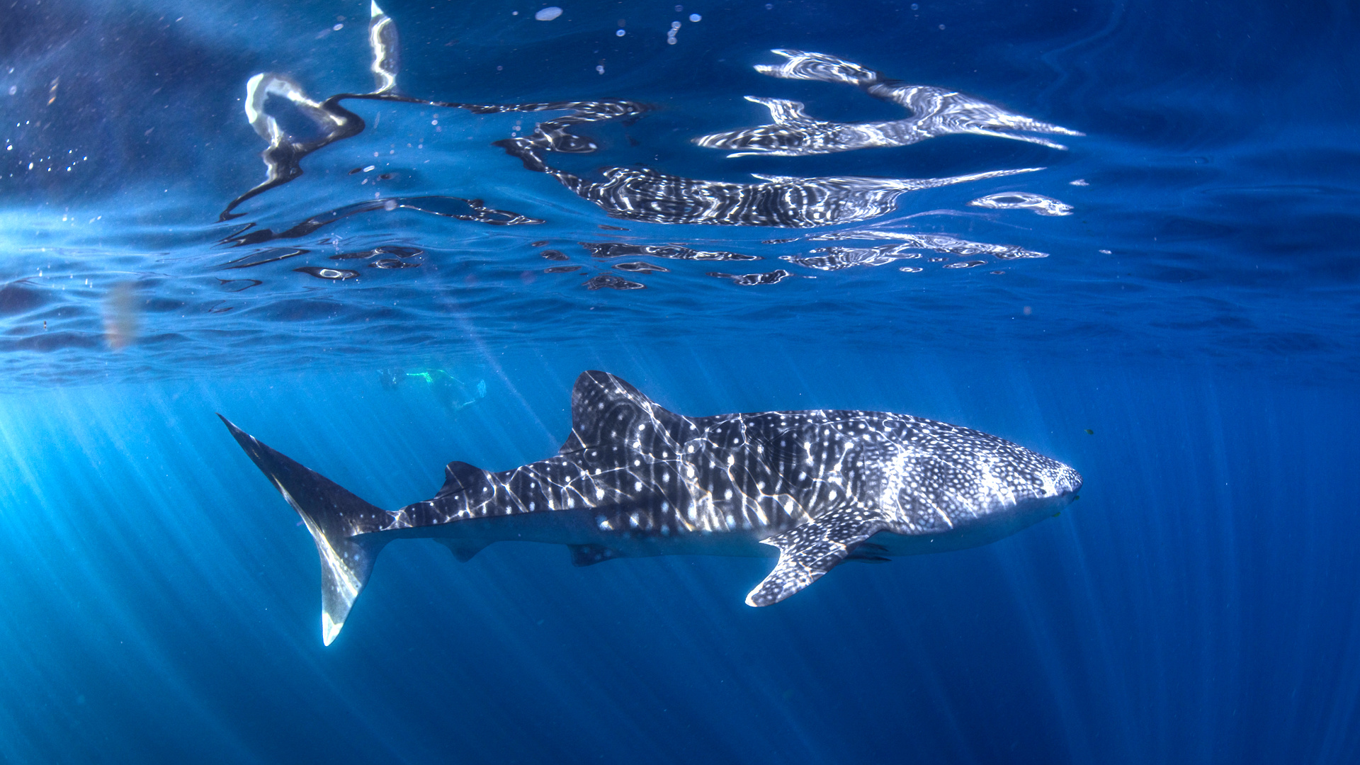 WhalesharkDiving (Foto: Diving Centre Exmouth /JH)