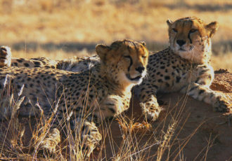 Geparden Namibia (Foto: Sabina Schneider)