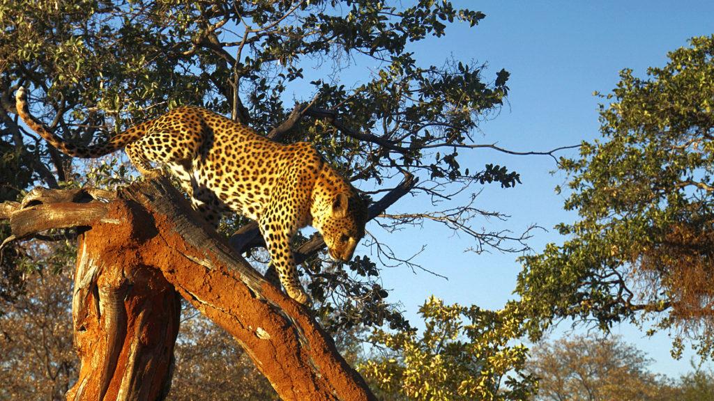 Leopard Namibia (Foto: Sabina Schneider)