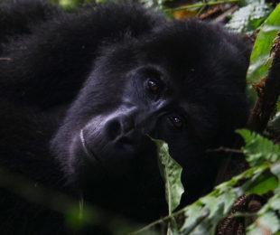 Gorilla Trekking (Foto: Sabina Schneider)