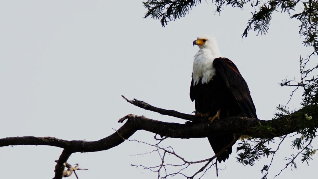 Adler im Queen Elizabeth Nationalpark (Foto: Sabina Schneider)