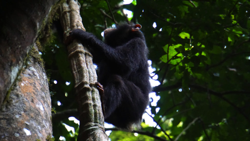 Chimps Trekking Uganda (Foto: Sabina Schneider)