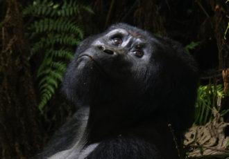 Gorilla Trekking Uganda (Foto: Sabina Schneider)