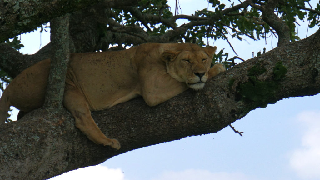 Löwe im Nationalpark (Foto: Sabina Schneider)